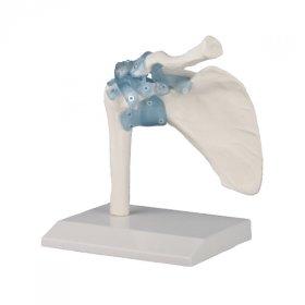 Articulation Epaule